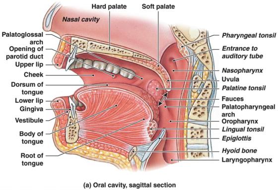 oralanatomy